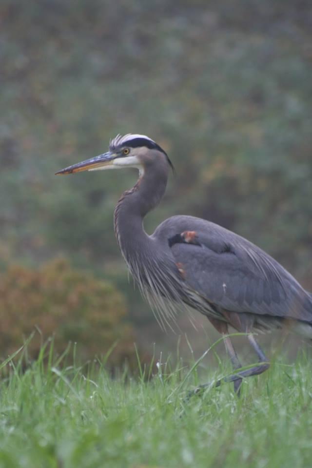 Pringle Creek Blue Heron