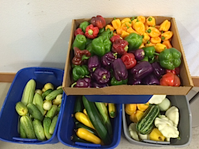 Peppers and squashes 2015
