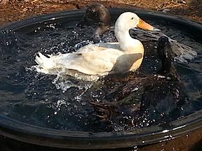 ducks graham