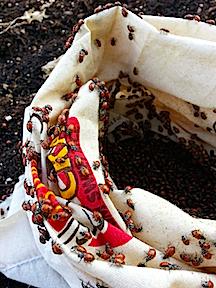 ladybugs in bag