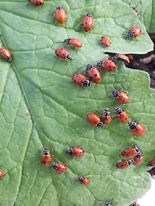 ladybugs on leaf