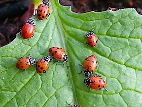 ladybugs on leaf2